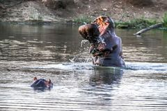 Hippo Yawn. Hippo coming out of water to show his aggression Stock Photos