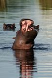 Hippo yawn, Okavango Stock Photo