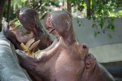 Hippo yawn Royalty Free Stock Photos