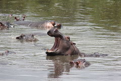 Hippo Yawning stock photo