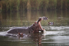 Hippo yawning in defensive display in golden light Royalty Free Stock Images