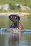 Hippo, yawning, South Africa Royalty Free Stock Images