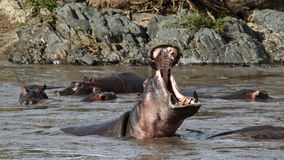 Hippo yawns in the river Stock Photos