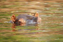 Hippo in the Zambezi river royalty free stock images