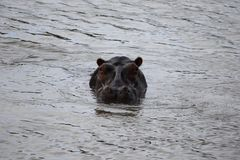 Hippo in Zimbabwe, het Nationale Park van Hwange Nijlpaard stock foto's