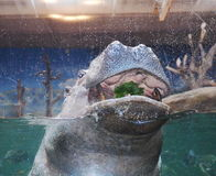 Hippo in a zoo Royalty Free Stock Image