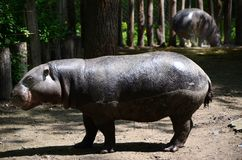 Hippo in the zoo stock photography