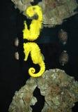 Hippocampe de Cowrie Images stock