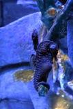 Hippocampe de grand-ventre d'abdominalis de hippocampe ou hippocampe pot-gonflé image stock