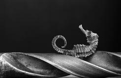 Hippocampe et perforat Photographie stock libre de droits