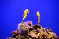 Hippocampe jaune Images libres de droits
