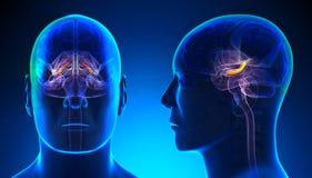 Hippocampe masculin Brain Anatomy - concept bleu Photographie stock