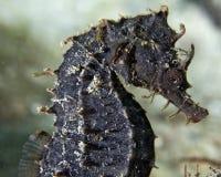 Hippocampe ou dragon de mer que vous décidez photos libres de droits