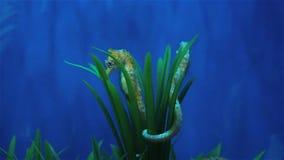 Hippocampe se cachant dans les mauvaises herbes, animaux de mer dans l'aquarium banque de vidéos