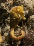 Hippocampe - taeniopterus de hippocampe image libre de droits