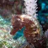 Hippocampe velu photo stock
