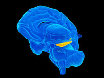 The hippocampus. Medically accurate illustration of the hippocampus Stock Photo
