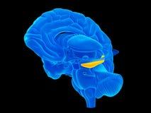 The hippocampus Stock Photo