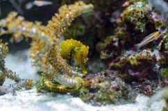 Hippocampus sp. Slender seahorse - Hippocampus reidi on reef Royalty Free Stock Image