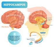 Hippocampusvektorillustration Märkt diagram med den isolerade closeupen stock illustrationer
