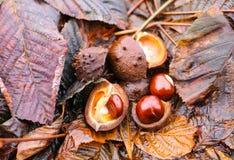 Hippocastanum каштанов конских или Aesculus приносить в осени Стоковое Изображение RF
