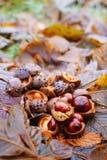 Hippocastanum каштанов конских или Aesculus приносить в осени Стоковые Фотографии RF