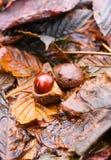 Hippocastanum каштанов конских или Aesculus приносить в осени Стоковое фото RF
