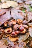 Hippocastanum каштанов конских или Aesculus приносить в осени Стоковая Фотография RF
