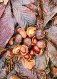Hippocastanum каштанов конских или Aesculus приносить в осени Стоковое Изображение