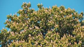 Hippocastanum Aesculus Ανθίζοντας κάστανο την άνοιξη ενάντια στον ουρανό απόθεμα βίντεο