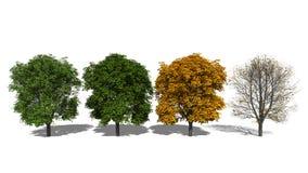 Hippocastanum Aesculus (Four Seasons) Στοκ Εικόνες