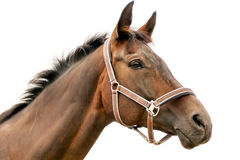 Hippodrome brown head horse in harness Royalty Free Stock Photos