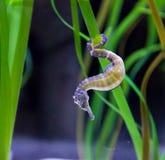 Hippokamp oder Seahorse unter Algen Lizenzfreies Stockfoto