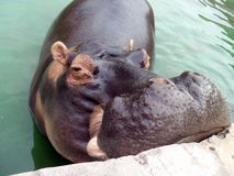 Hippopatamus. A cute hippo waiting for food in a zoo Stock Photography