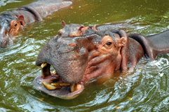 Hippopatomus chez Samut Prakan, Thaïlande photos stock