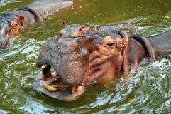 Hippopatomus em Samut Prakan, Tailândia Fotos de Stock