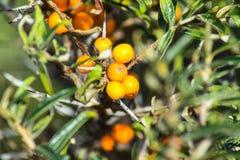 Hippophae, Fruit, Orange, Fruit Tree royalty free stock image