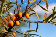 Hippophae rhamnoides also known as common sea buckthorn shrub Stock Photo