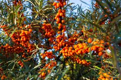 Hippophae rhamnoides also known as common sea buckthorn shrub Stock Image