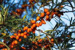 Hippophae rhamnoides also known as common sea buckthorn shrub Royalty Free Stock Image