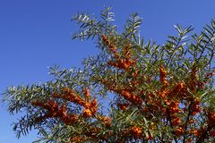 Free Hippophae Rhamnoides And Blue Sky - October Royalty Free Stock Images - 136952059