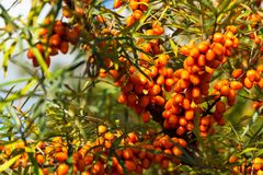 Hippophae rhamnoides also known as common sea buckthorn shrub Royalty Free Stock Images