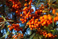 Hippophae rhamnoides also known as common sea buckthorn shrub Stock Images