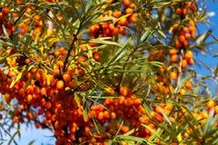 Hippophae rhamnoides också som är bekanta som gemensam buske för havsbuckthorn royaltyfria bilder