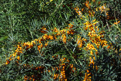 Hippophae rhamnoides sea buckthorn wild plant branch with ripe orange berries Stock Photography