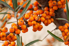 Hippophae rhamnoides - source of vitamin C Stock Images