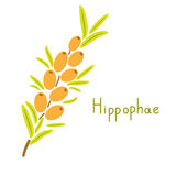 Hippophae vector plant Stock Photos