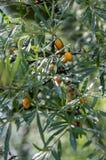 Hippophaerhamnoides gemeenschappelijke overzeese bucthorn gerijpte oranje vruchten op takken stock foto's