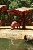 Hippoportret in de aard Stock Foto