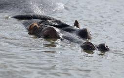 Hippopotam die zonbad neemt Stock Fotografie
